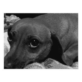Audrey: Perro del Dachshund Posters