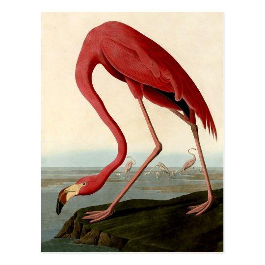 Audubon American Flamingo Postcard