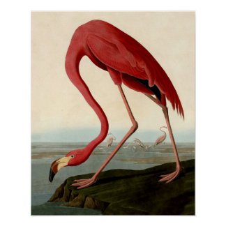 Audubon American Flamingo Print
