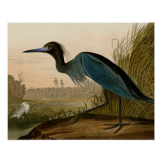 Audubon Blue Crane Heron Birds of America Poster