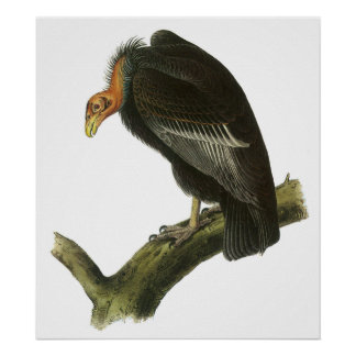 Audubon California Condor Poster