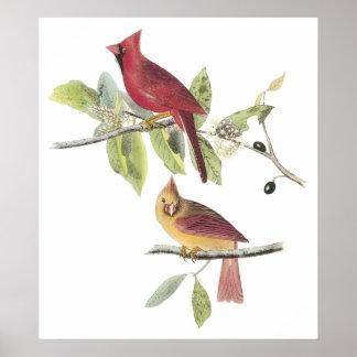 Audubon Cardinal Poster