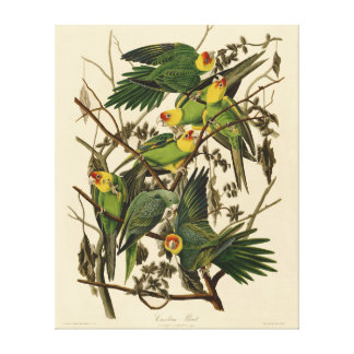 Audubon Carolina Parrot Print Birds of America
