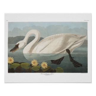Audubon Common American Swan Poster