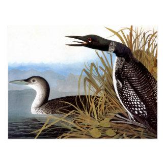 Audubon: Common Loon Postcard
