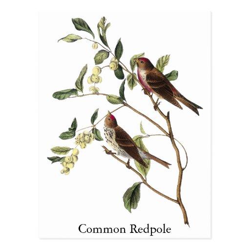 Audubon Common Redpole Postcard