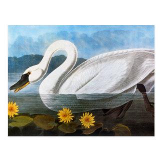 Audubon: Common Swan Postcard