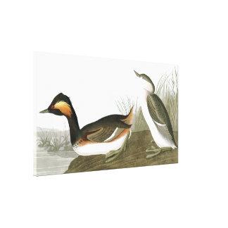 Audubon Eared Grebe Birds Wrapped Canvas Print