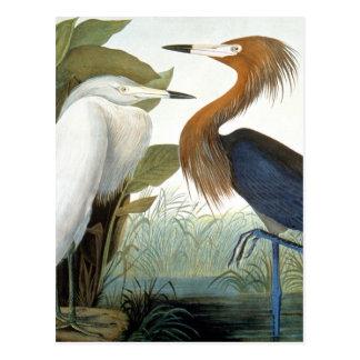 Audubon: Egret rojizo o garza púrpura Postales