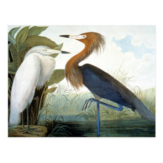 Audubon: Egret rojizo o garza púrpura Tarjeta Postal