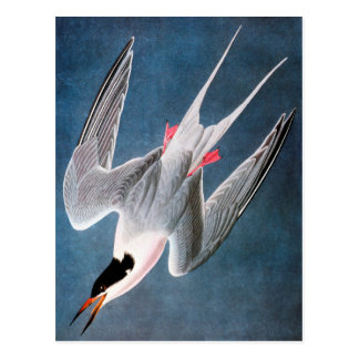 Audubon: Golondrina de mar rosada Tarjetas Postales