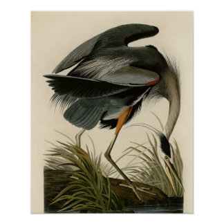 Audubon Great Blue Heron Birds Poster