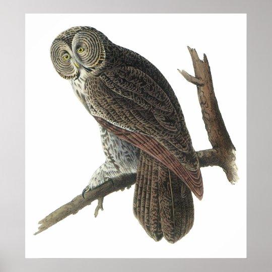 Audubon Great Gray Owl Poster or Print