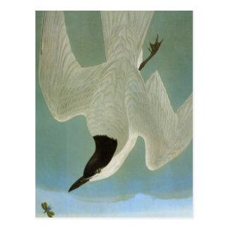 Audubon: Gull-Billed Tern Postcard