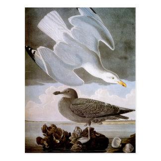 Audubon: Herring Gull Postcard