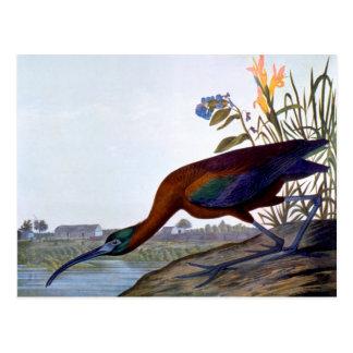 Audubon: Ibis brillante Tarjeta Postal