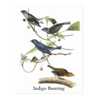 Audubon Indigo Bunting Print Postcard
