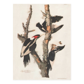 Audubon Ivory-Billed Woodpecker Postcard