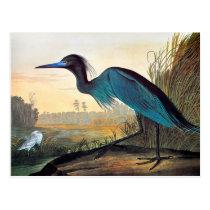 Audubon: Little Blue Heron Postcard