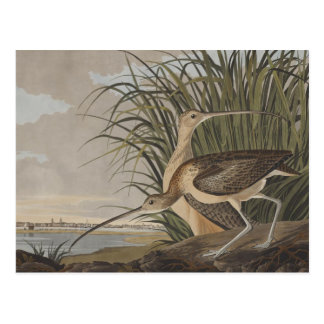 Audubon Long-Billed Curlew Sandpiper Bird Postcard