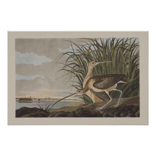 Audubon Long-Billed Curlew Sandpiper Bird Poster