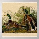 Audubon Mallard duck Bird Vintage Print