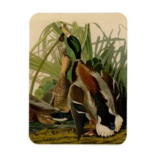 Audubon Mallard duck Bird Vintage Print Magnet