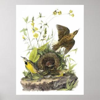 Audubon Meadowlard del este Póster