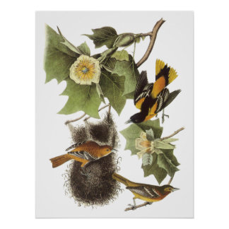 Audubon Oriole Poster
