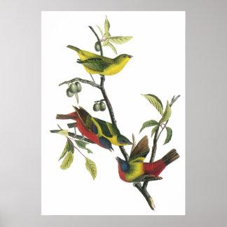Audubon Painted Bunting Poster