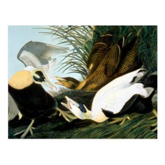 Audubon: Pato de eíder Postal