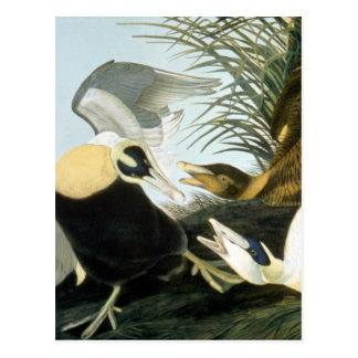 Audubon: Pato de eíder Tarjetas Postales