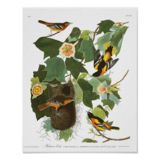 Audubon Plate 12 Baltimore Oriole Poster