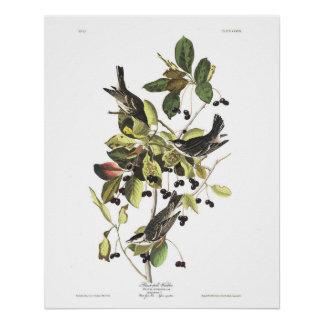 Audubon Plate 133 Black-poll Warbler Poster