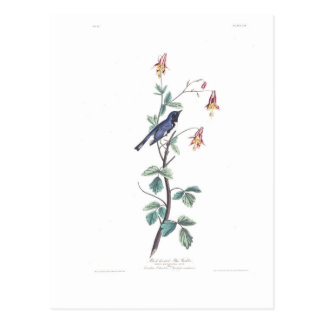 Audubon Plate 155 Black-Throated Blue Warbler Postcard