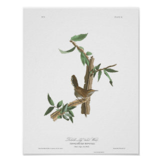 Audubon Plate 18 Bewick's Wren Poster