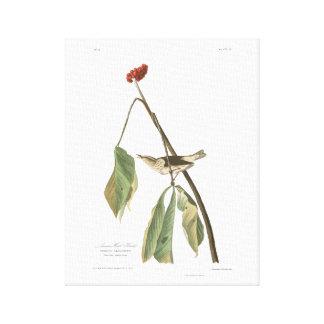 Audubon Plate 19 Louisiana Water Thrush Canvas Print