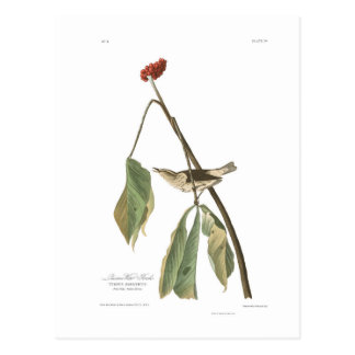 Audubon Plate 19 Louisiana Water Thrush Postcard