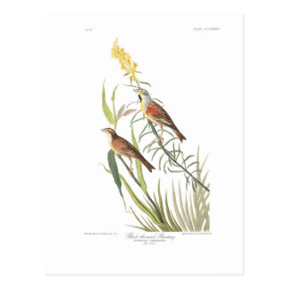 Audubon Plate 384 Black-Throated Bunting Postcard