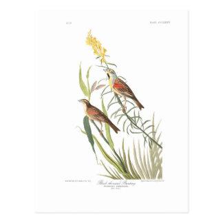 Audubon Plate 384 Black-Throated Bunting Postcard