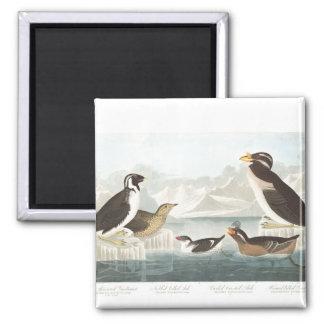 Audubon Plate 402 Black-Throated Guillemot 2 Inch Square Magnet