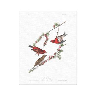 Audubon Plate 4 Purple Finch Canvas Print