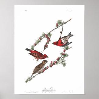Audubon Plate 4 Purple Finch Poster
