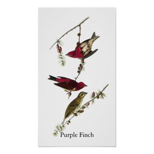 Audubon Purple Finch Poster