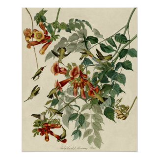 Audubon Ruby Throated Hummingbirds Poster