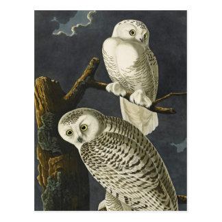 Audubon s Snowy Owls Post Card