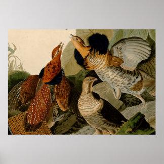 Audubon superó el ejemplo del urogallo póster