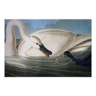 Audubon Trumpeter Swan Poster