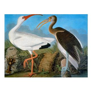 Audubon: White Ibis Postcard