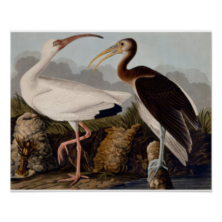 Audubon White Ibis Poster